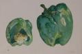 Paprika's 50 x 60 ipp aquarel